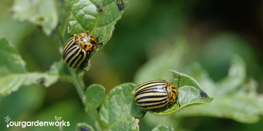 How To Get Rid of Colorado Beetle - Ourgardenworks