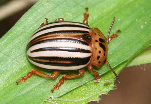 Adult Colorado Beetle