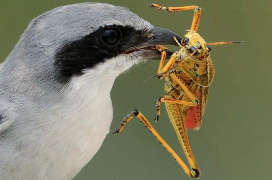 Birds - predators of grasshoppers