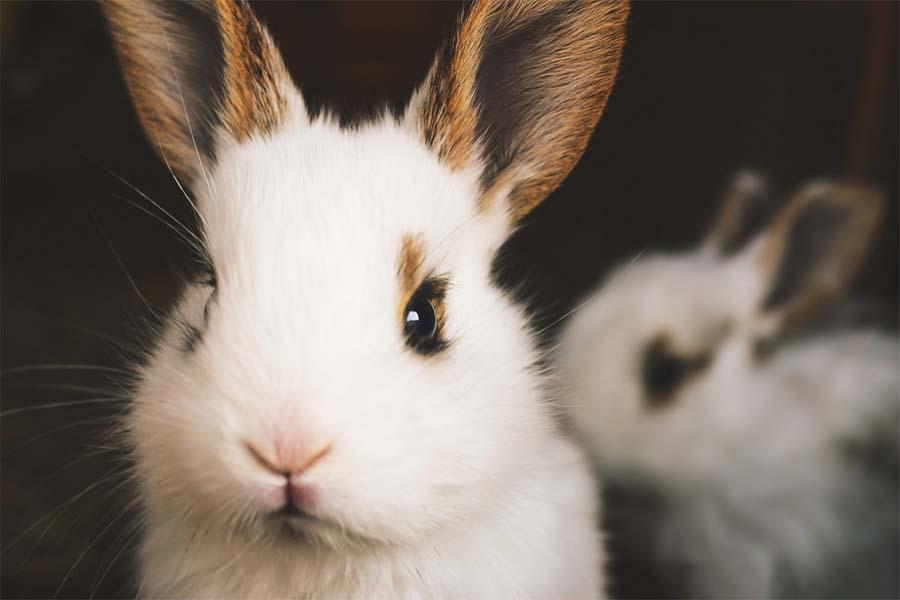Do Rabbits Eat Roses?