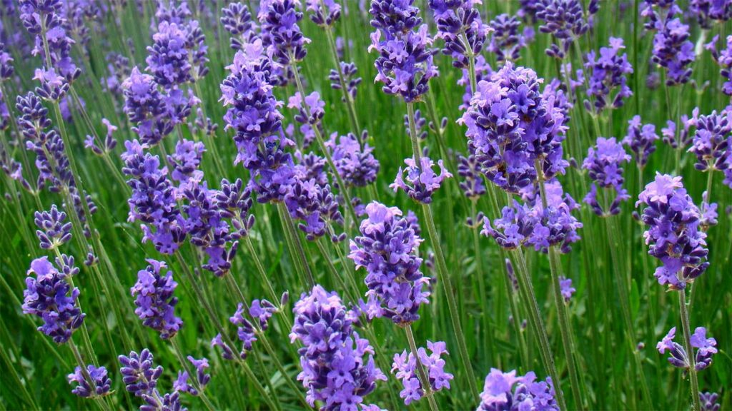 Lavender and Rabbits