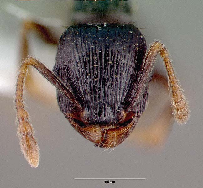 Example of a worker pavement ant's head