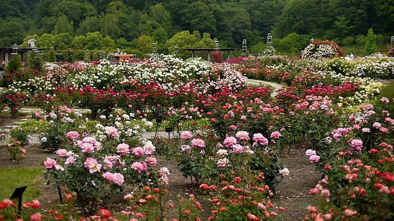 Your Rose Garden