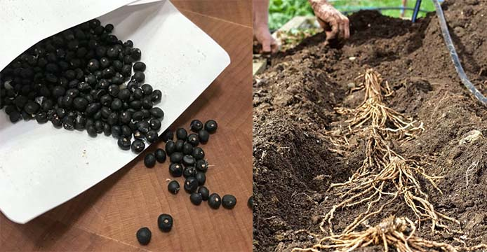 asparagus seed or crown - ourgardenworks