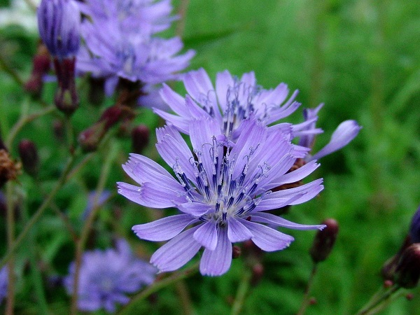 How To Grow Chicory?