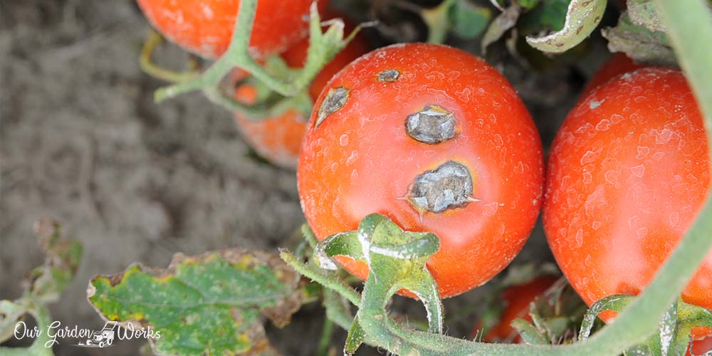 What Are The Best Fungicide For Tomatoes