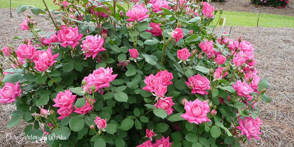 What Are The Best Fertilizers For Knockout Roses - Reviews in 2021