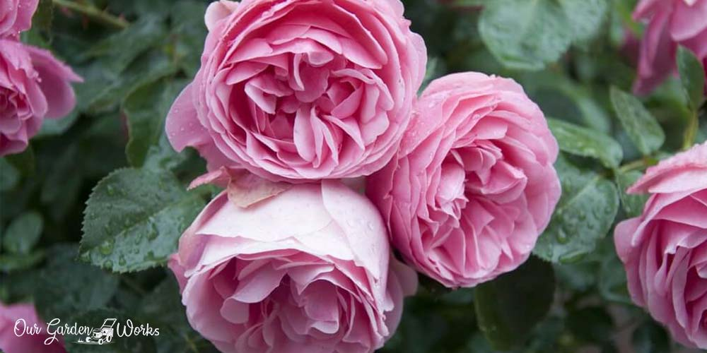 10 Best Insecticides For Roses