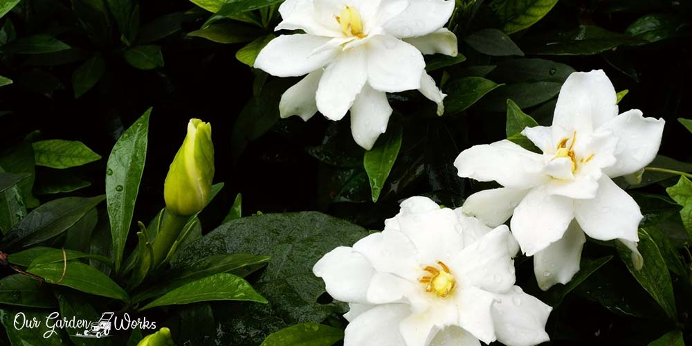10 best fertilizers for Gardenias 2021