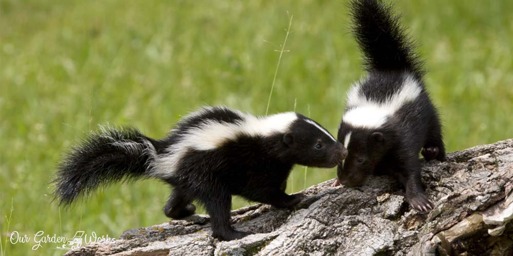 Can skunks climb - How to keep them away from your home