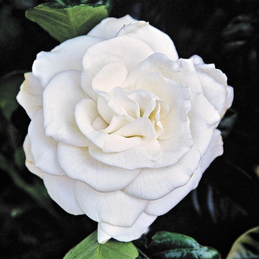 Chuck Hayes gardenia