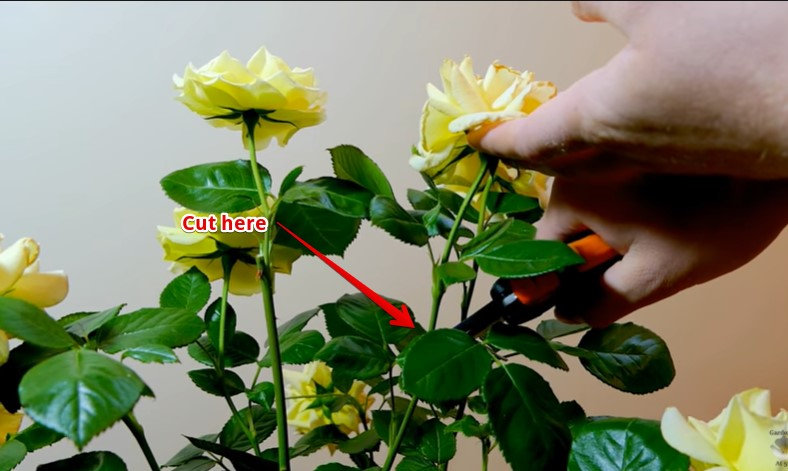 How to deadhead knockout roses with one rose on the stem