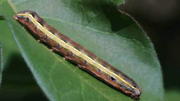 How to get rid of black worms: yellow-striped armyworms