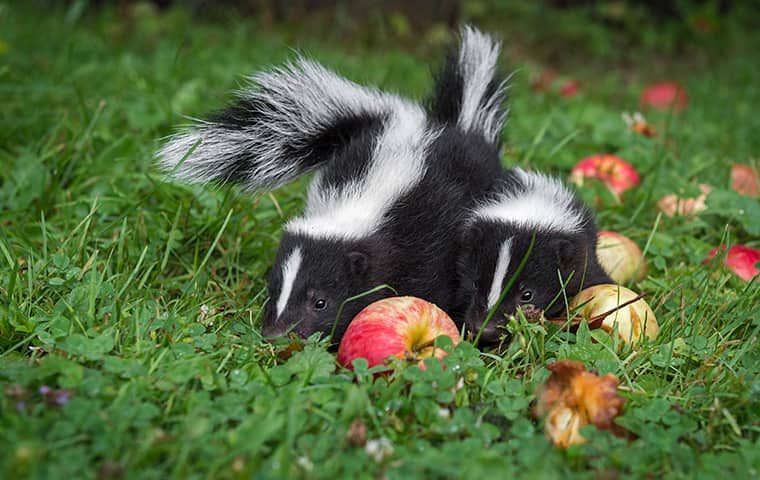 How to keep the skunks away from your house - ourgardenworks