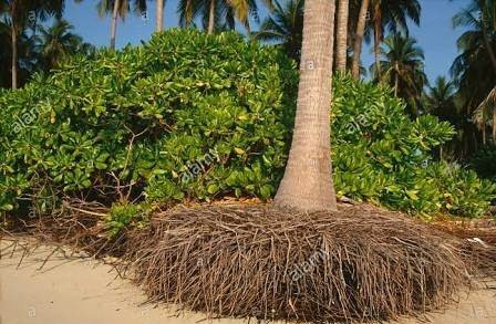 Palm tree roots