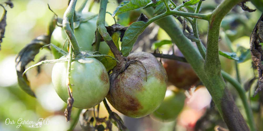 What Are The Best Tomato Blight Spray Recipes