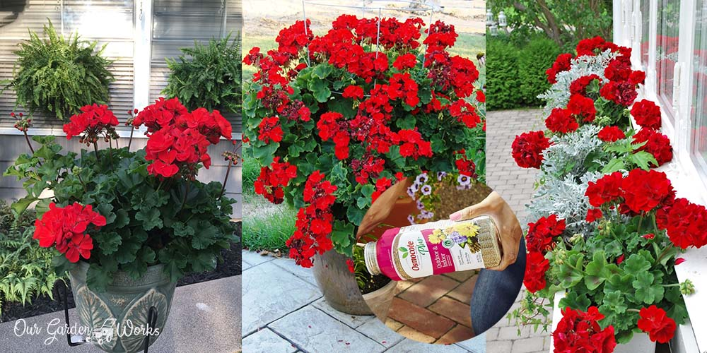 10 Best fertilizer for geraniums reviews (2021)