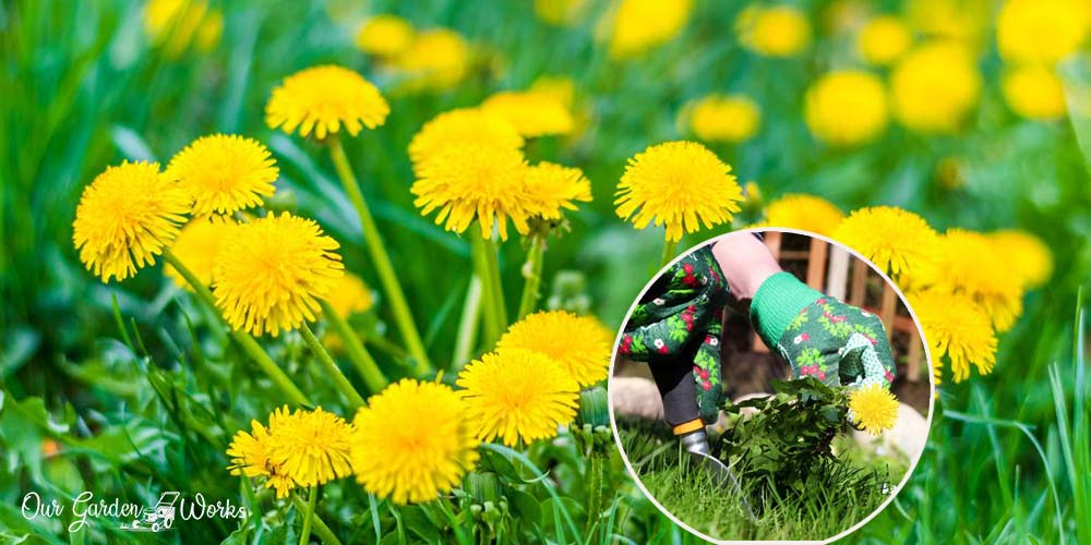 11 Effective Home Remedies To Control Dandelions