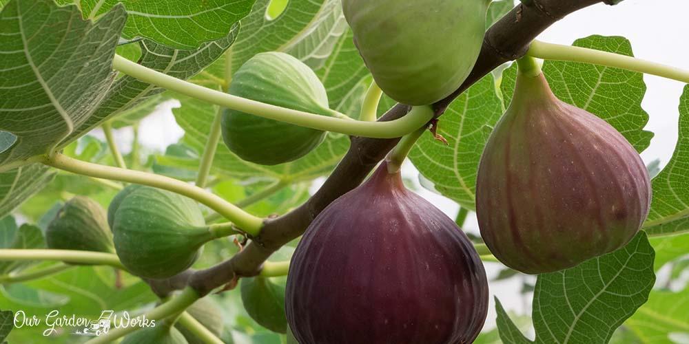 9 Best fig tree fertilizers (2021)