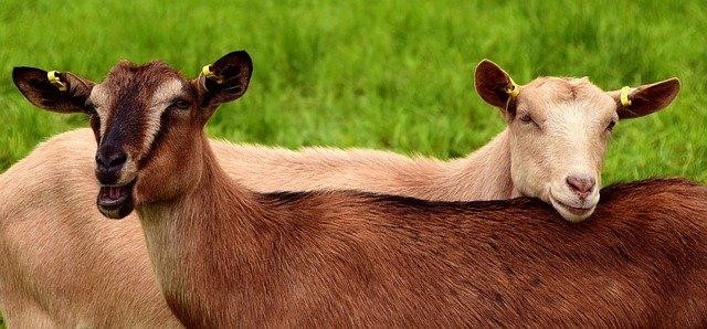Goats can help gardeners control lawn weeds