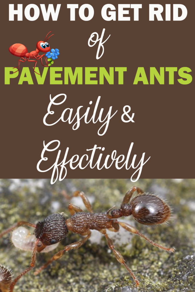 How to Get Rid of Pavement Ants Easily and Effectively? Pinterest share