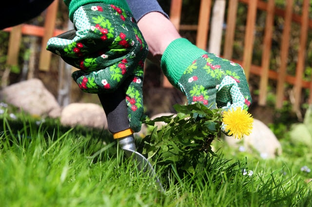 Pulling dandelions by hand