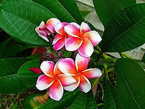 What You Need To Know About Plumeria