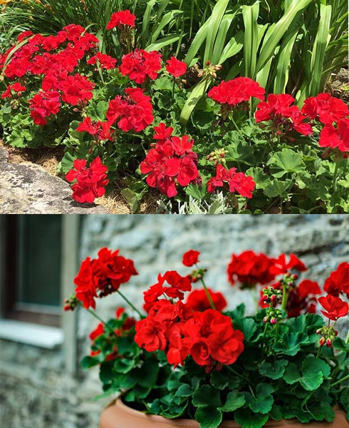 What You Need To Know About Geraniums?