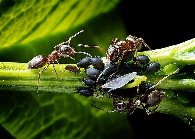 Ants feasting on an aphid