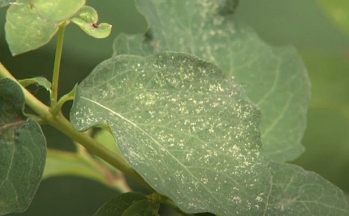 Feeding trails of leafhoppers