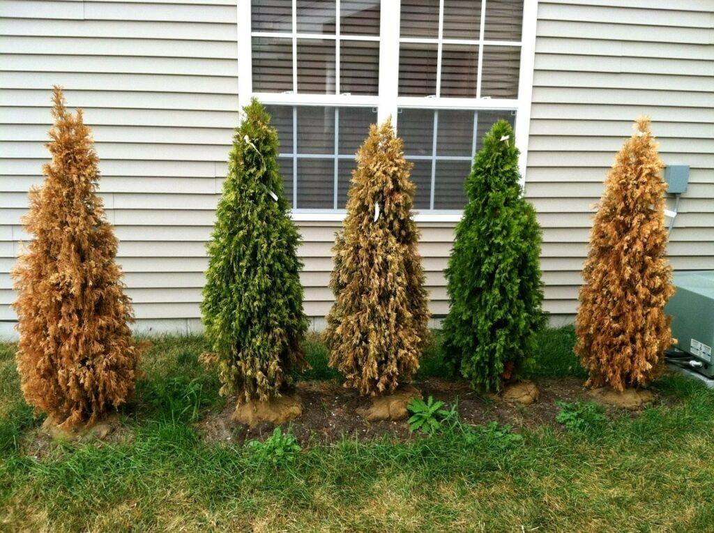 Tips in Applying Fertilizers on Arborvitaes