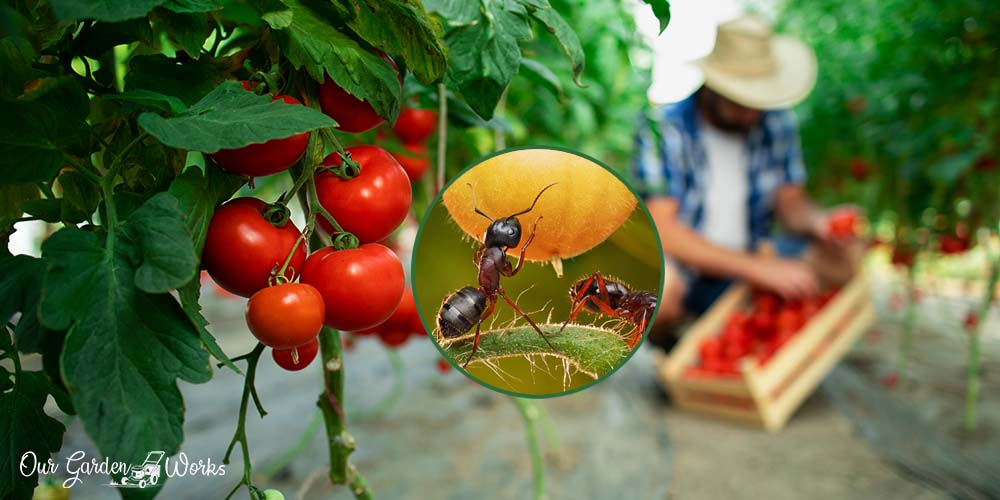 What Are The Effective Ways To Remove Ants On Tomatoes