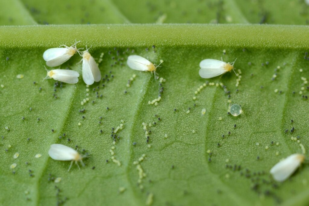 Whiteflies on basil leaves