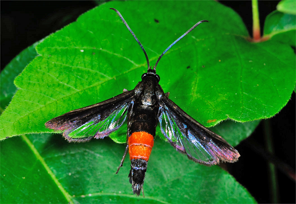 Using Tobacco Dust for Peach Tree Borers