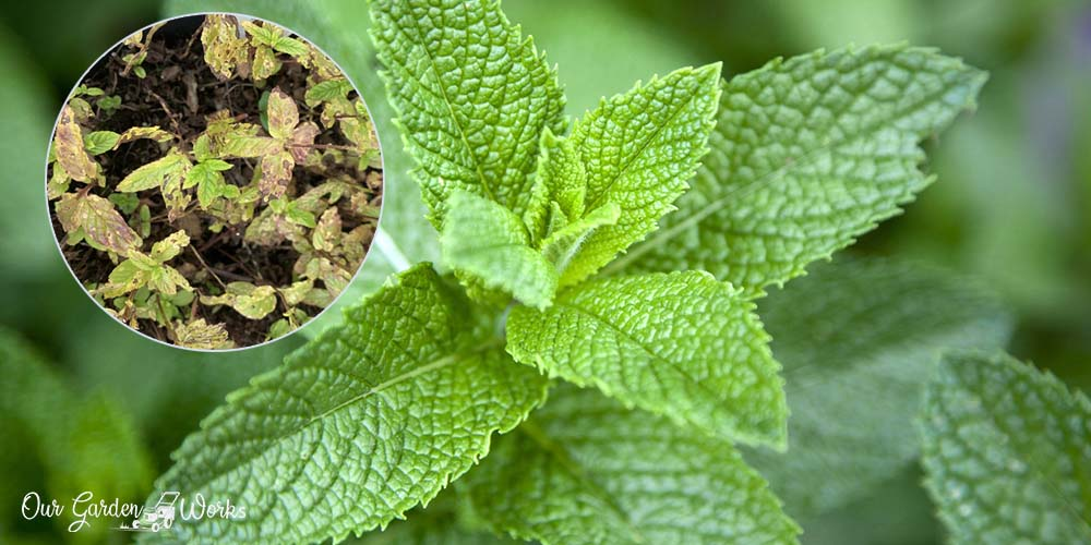 7 Causes Why Mint Leaves Turn Brown & How To Solve Them