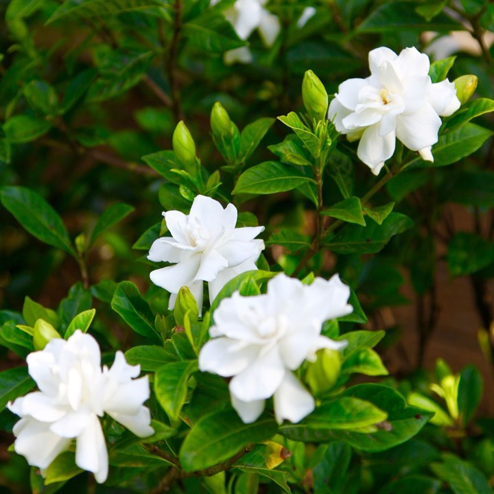 Other Causes of Yellow Leaves in Gardenia