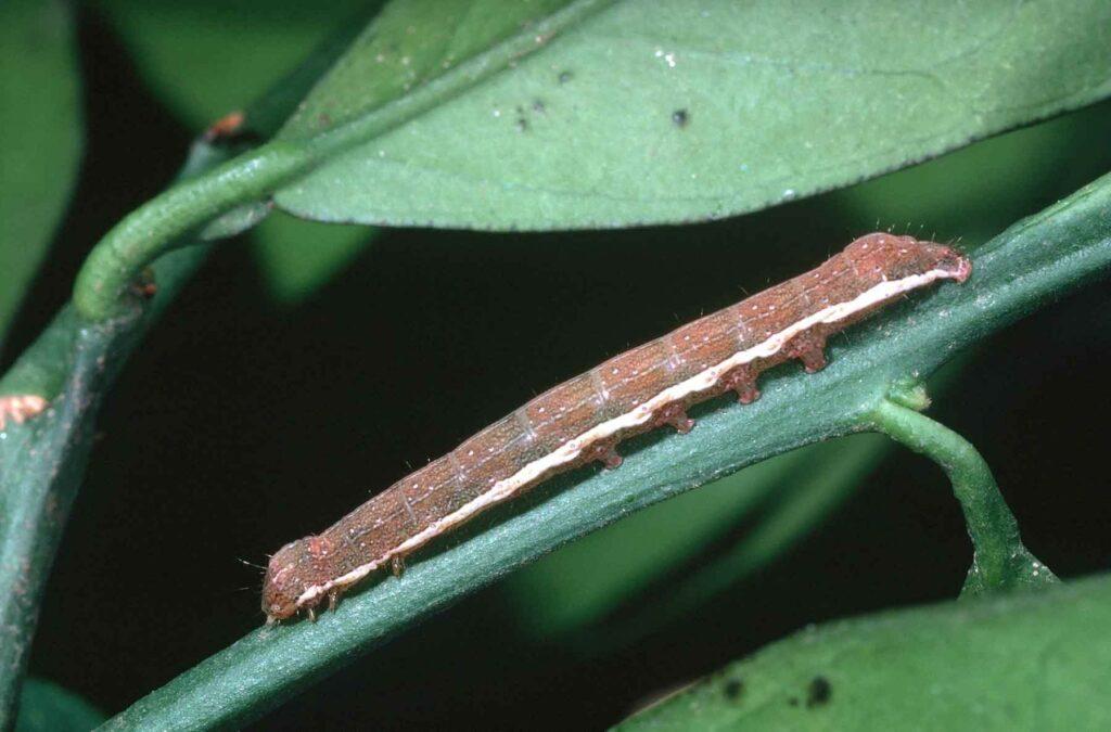 Citrus cutworm