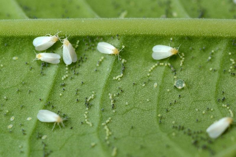 Citrus whiteflies
