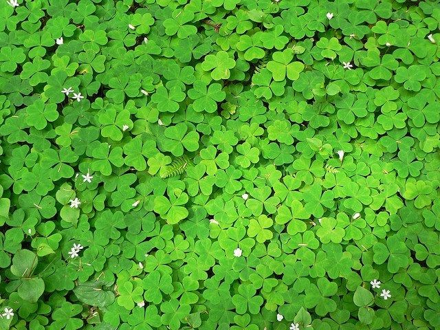 Clovers as a ground cover