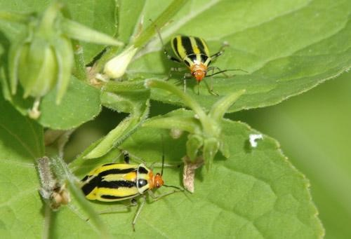 Four-lined Plant Bugs