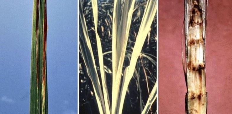 Gumming disease in sugarcane