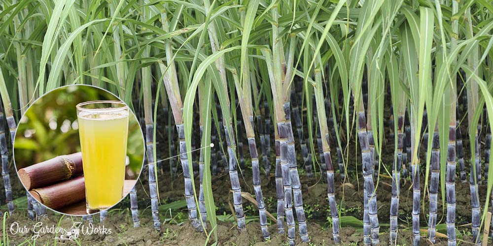 How To Grow Sugar Cane At Home - Homemade Sugarcane Syrup Guide