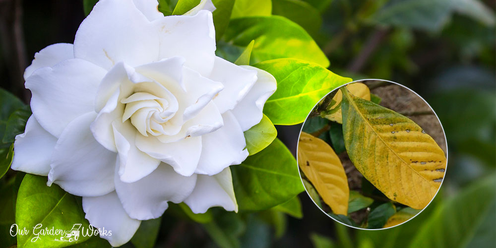 How to treat yellow leaves in gardenia with vinegar