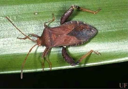 Large leaf-footed bug