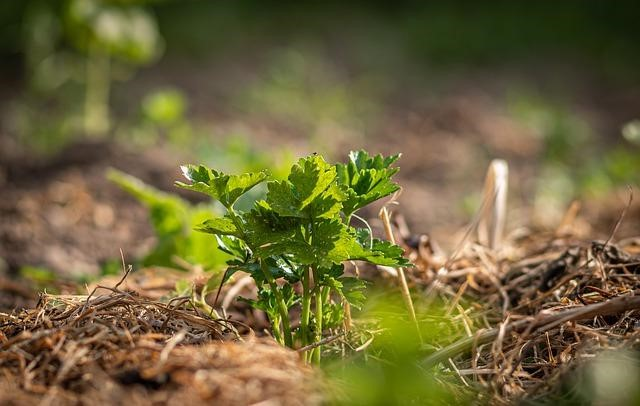 Mulched celery plant