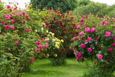 Perfectly-spaced rose bushes
