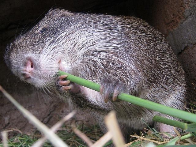 Sugar cane rats