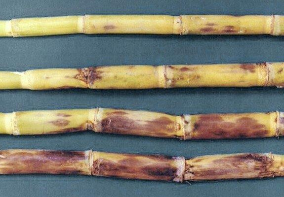 Sugar canes infected with red rot