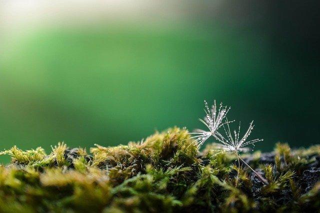 dandelion seeds on the moss