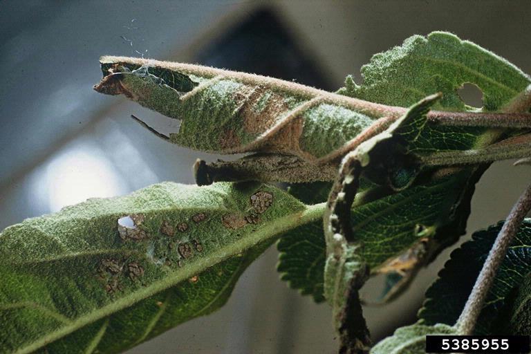 leaf curls due to light brown apple moth